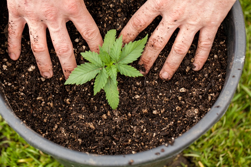 How to Grow Cannabis at Home